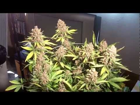 Last Purple Kush Harvest