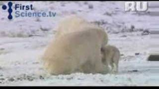 Белый медведь подружился с собаками(Белый медведь подружился с собаками., 2008-04-04T09:01:13.000Z)