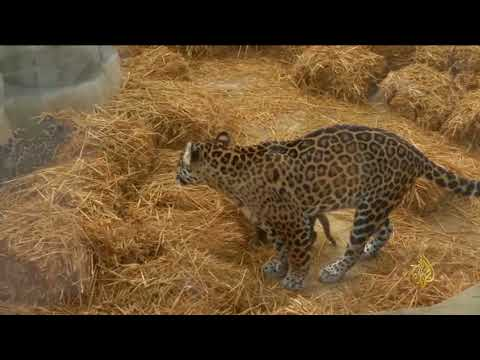 هذا الصباح - حدائق حيوان عالمية تحتفل بمواليد أنواع مهددة بالانقراض