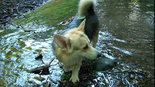 CORGIS IN A RIVER  - Fujifilm Finepix Z70 Outdoor Shaded Video Test