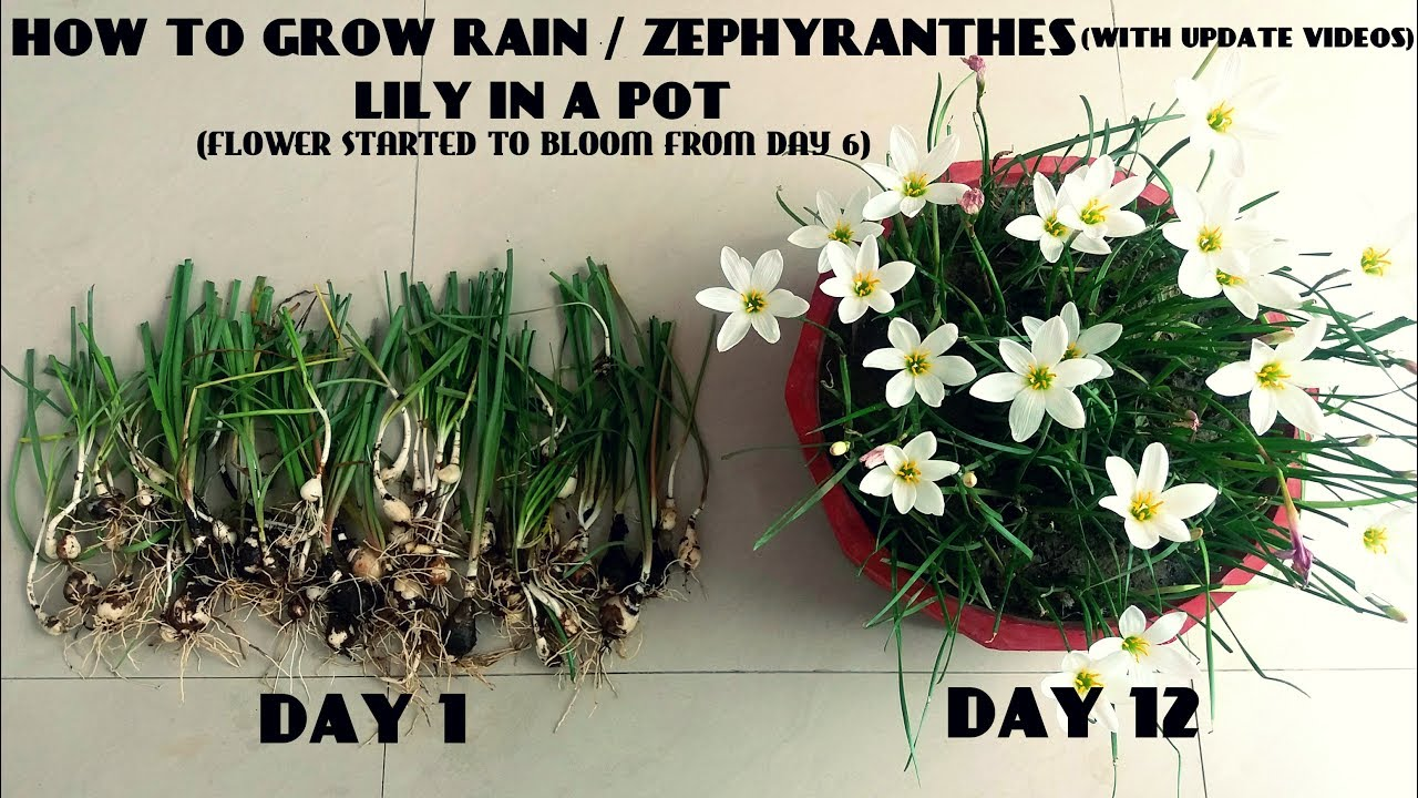 How to grow rain zephyranthes lily in a pot with update videos how to grow rain zephyranthes lily in a pot with update videos izmirmasajfo Image collections