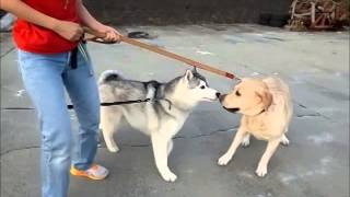 Hana Vs Non,  Hana Vs Nene   Nov 1st 2014   Siberian Husky Hana Iii Is Husky Dog