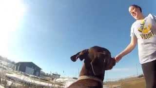 Gopro Mounted On Doberman Pinscher