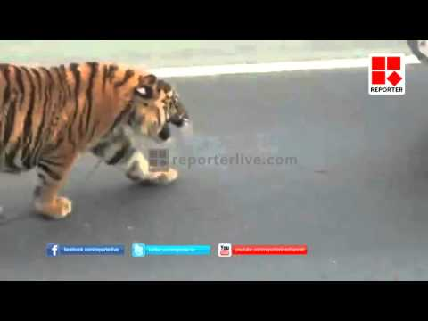 Tiger escaped to public place in doha