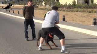 aleef express amman dog training dog protection and basic obedience in jordan