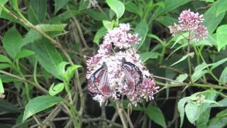琉球青斑蝶+島田氏澤蘭