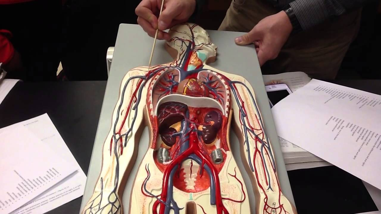 Exercise 32 blood vessels model - YouTube