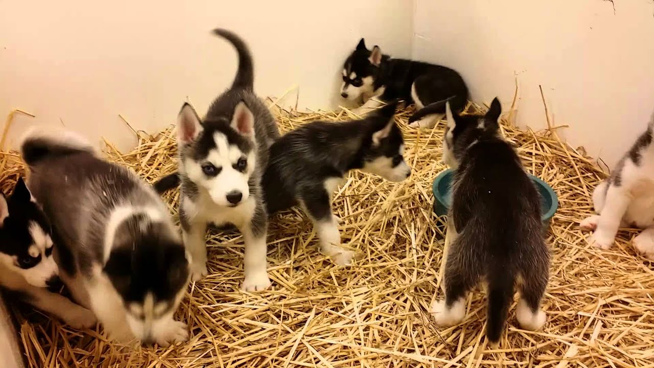 fcc8554575 Siberian Huskies Availavle at Northwest Seed   Pet on East Sprague in  Spokane WA