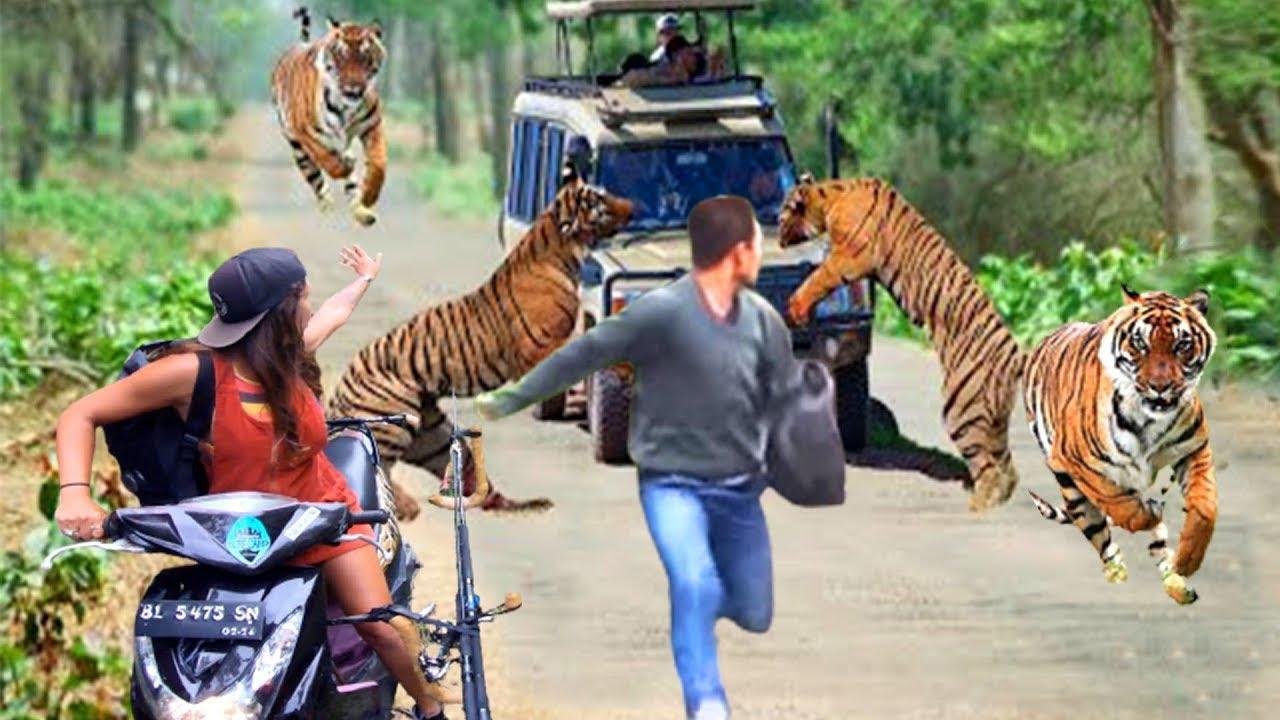 مشهد لا يصدق لنمور شرسة تهاجم حيوانات أخرى   نمور تهاجم الجواميس والأبقار والخنازير