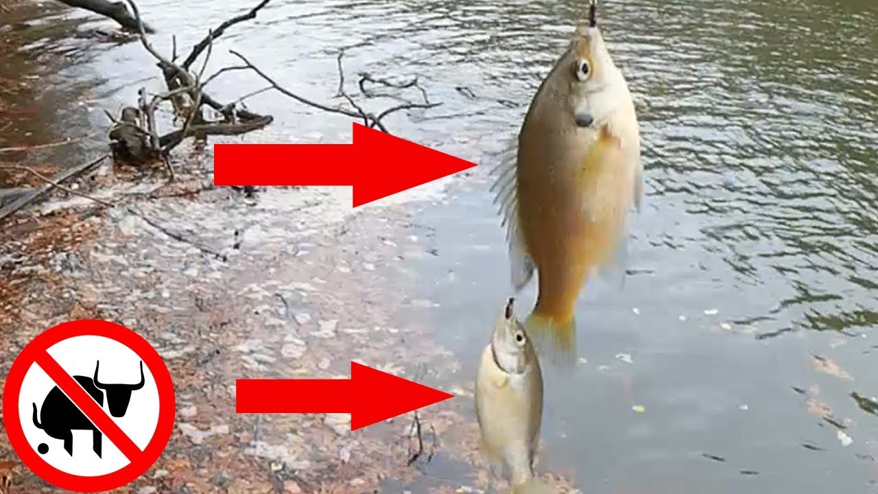 Catching Doubles Bluegill On Live Bait Fishing With Red Worms