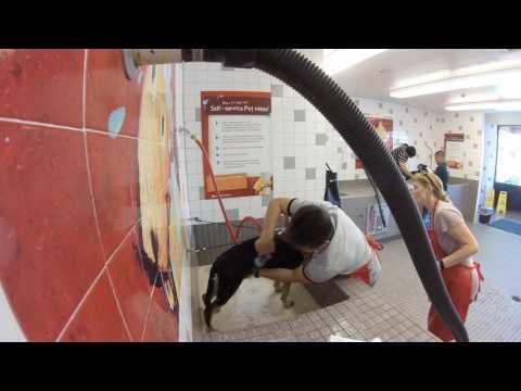 German Shepherd Bathing at Pet Food Express Dog Wash Self Service GSD Kara Batilo