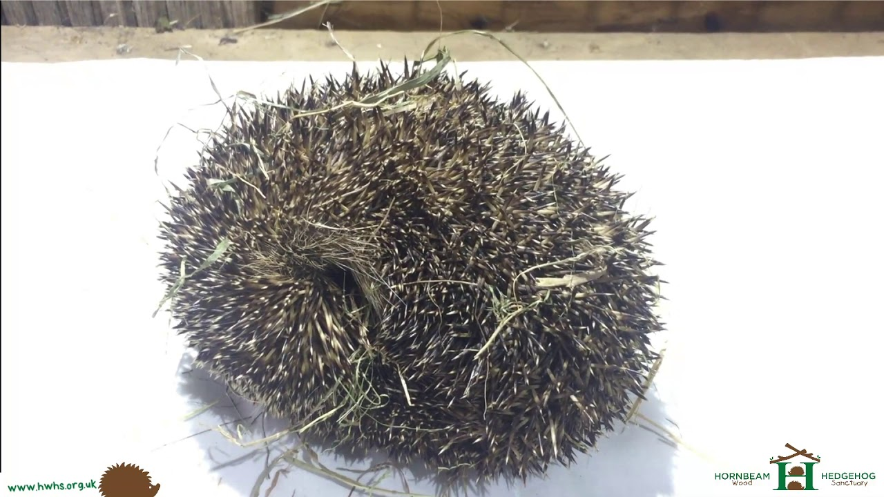 """Kev"" Hedgehog with infected leg returns home from rehabilitation - Hornbeam Wood Hedgehog Sanctuary"