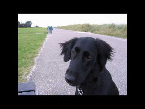 Indy - Flat Coated Retriever (bis 1 Jahr)