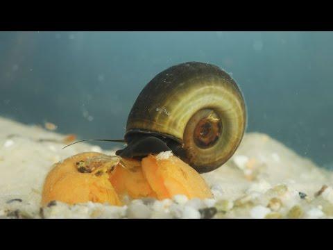 Planorbarius corneus / Posthornschnecke / Great Ramshorn Snail