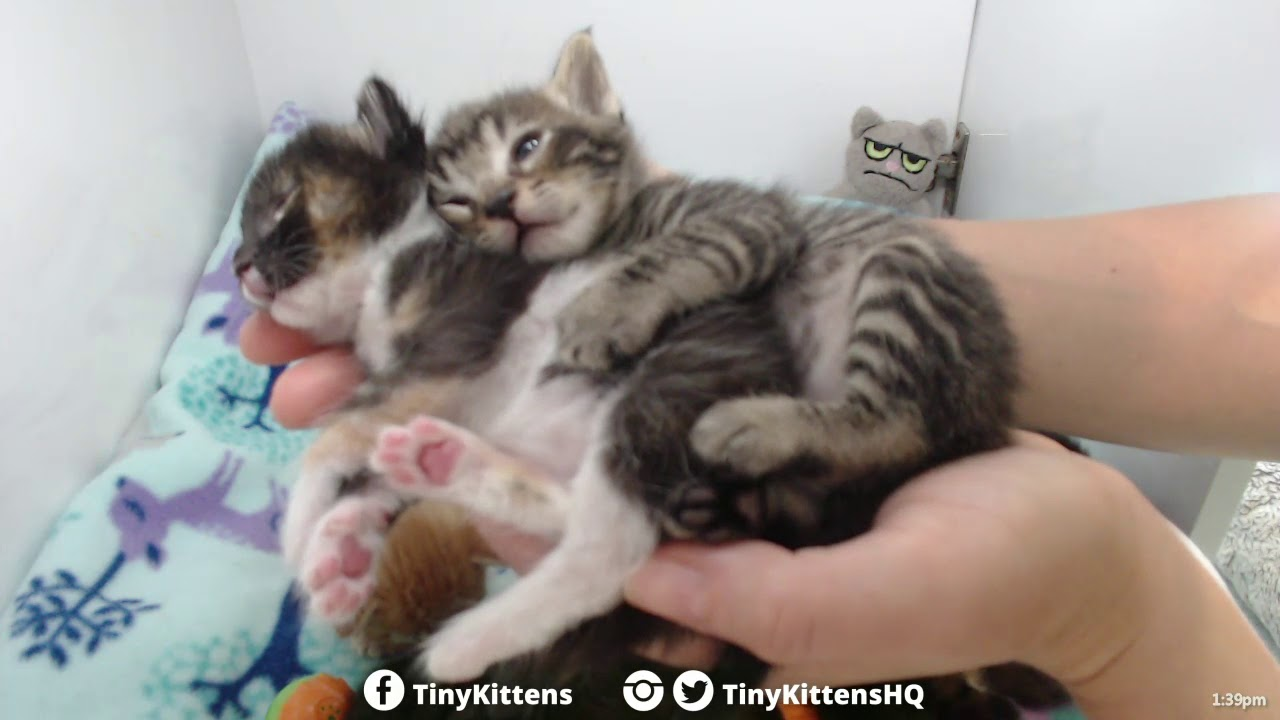 Kittens hugging each other in my hands - Starring Aura and B-Rex - TinyKittens.com