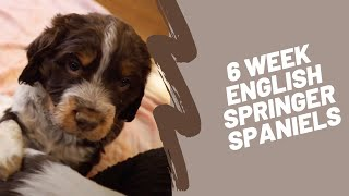 6 Week English Springer Spaniels  They're playful!