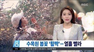 [대전MBC뉴스]반짝추위 속 봄 '성큼'…