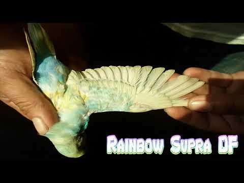 05973b64e0bc MI PERIQUITO ARCOIRIS SUPRA DF My Budgie Rainbow Supra Df