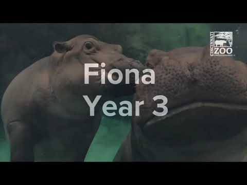 Hippo Fiona is Now 3 - Cincinnati Zoo