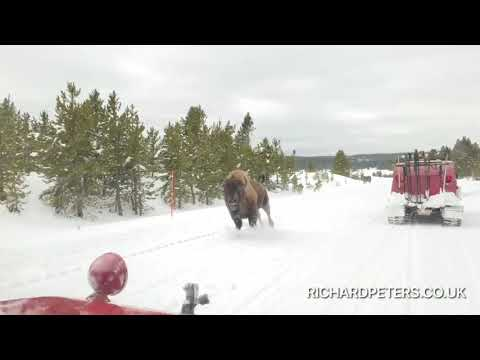 Out of My Way: Bison Thunders Past Cars on Snowy Road in Yellowstone