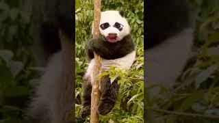 Singender Panda