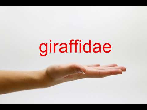 How to Pronounce giraffidae - American English