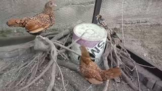 Kaczki staropolskie i sebrytki