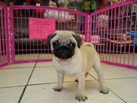 Pug, Puppies, Dogs, For Sale, In Charleston, South ...