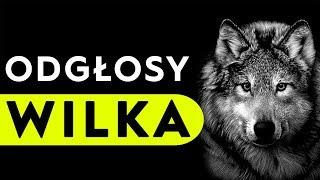 Wilk - odgłosy wilka