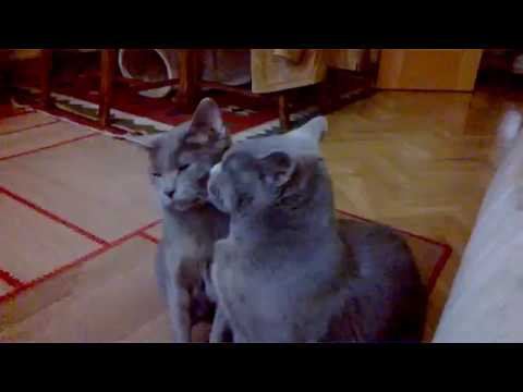 Chartreux cats IN LOVE