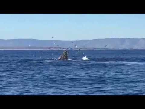 Winter humpback whales in Monterey Bay