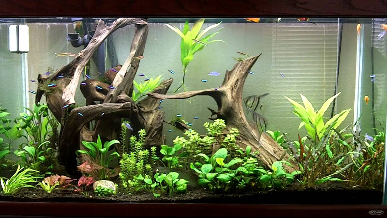 Planted aquarium home to 50 neon tetra youtube for Neon aquarium