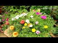 How to grow Portulaca  from cutting step by step with full update