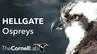 Hellgate Ospreys [no sound]