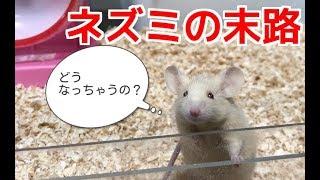 ヘビ飼育者に買われてしまったネズミの末路 thumbnail