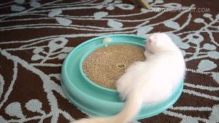 Cute Scottish Fold Kitten Plays with a Ball Scratcher Toy Thumbnail