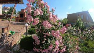 Обрезка плетистых роз после первого цветения