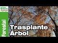 ¿Sería factible trasplantar un árbol adulto a otro lado?