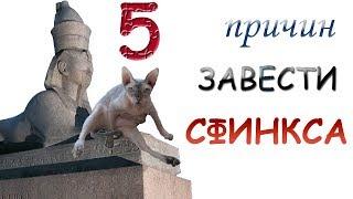 5 ПРИЧИН ЗАВЕСТИ СФИНКСА