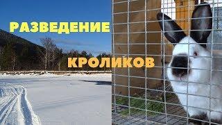 Технология разведения кроликов: спаривание, сукрольность, окрол/Выкармливание и отсадка крольчат