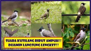 Download Lagu KOMPILASI SUARA KUTILANG RIBUT AMPUH BUAT PIKAT DIJAMIN LANGSUNG LENGKET!! mp3