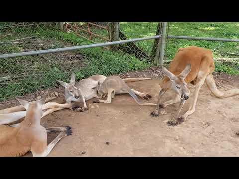 Great grey kangaroo and Red kangaroos