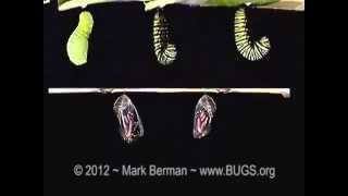 3 Monarch Butterfly Larvae (Danaus plexippus) to Pupae, Two Pupae to Adults