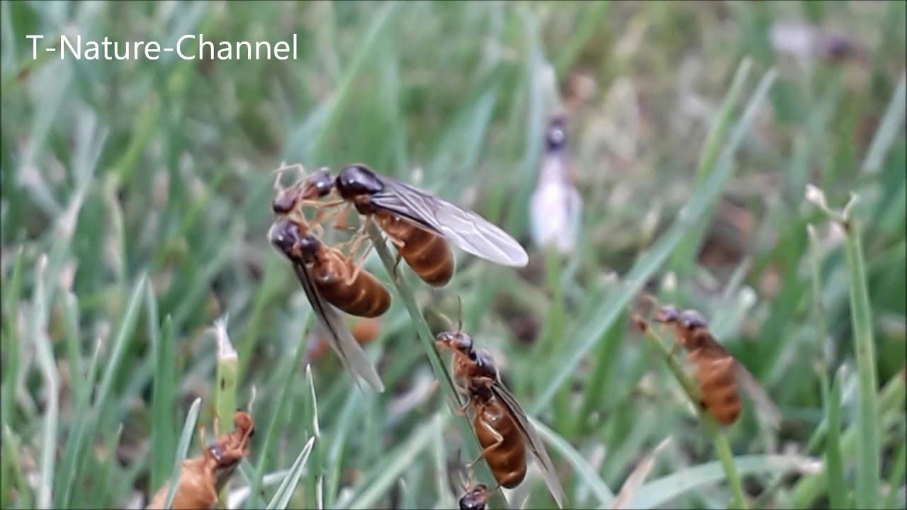 Gut bekannt Die Ameisen fliegen wieder 🐜 extrem viele fliegende Ameisen - YouTube UX47