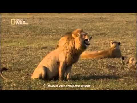 Funny lion roar - YouTube - photo#21