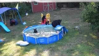 Женщина выглянула в окно и увидела, как семейство медведей веселилось в её бассейне на заднем дворе