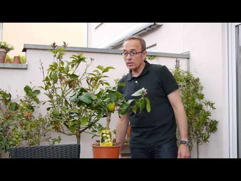 wichtige-tipps-zur-pflege-von-zitruspflanzen