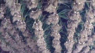 2015 garlic harvest at Sisters Hill Farm