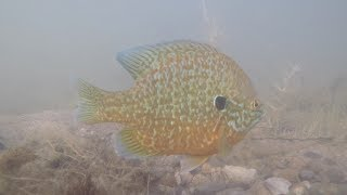 SUPER CLEAR Underwater Footage of GIANT Sunfish!