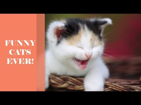 Funniest Cats Ever! | Cats are so humorous youll die laughing   Humorous cat compilation